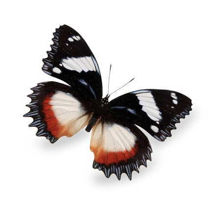 Tropical butterfly isolated on white photo