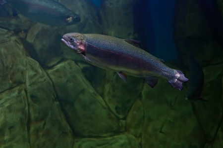 Rainbow trout or Salmon trout (Oncorhynchus mykiss) close-up underwater Stock Photo - 16246387