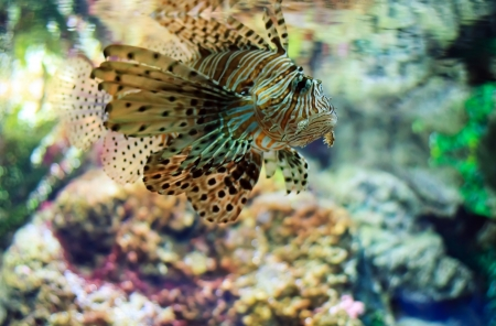 Lionfish (Pterois mombasae) on a coral reef photo