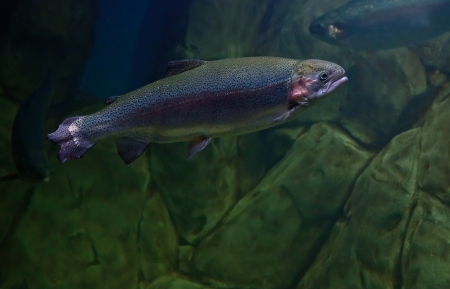 Rainbow trout or Salmon trout (Oncorhynchus mykiss) close-up underwater Stock Photo - 17254554