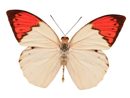 butterfly wings: beige and red butterfly isolated on white