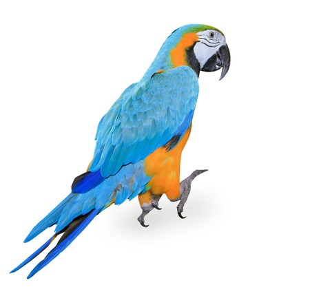 guacamaya: Blue-and-yellow Macaw - Ara ararauna