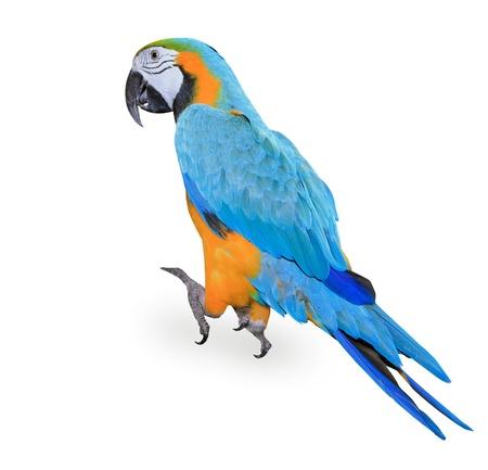 ararauna: Blue-and-yellow Macaw - Ara ararauna