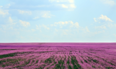 Beautiful lavender field in the summer photo