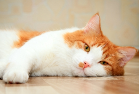 cute red and white cat lying on the floor Standard-Bild