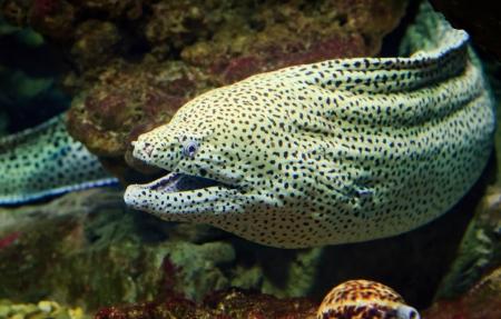 snake head fish: Murena Gigante guarda fuori dalla barriera corallina Archivio Fotografico