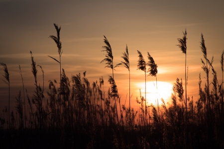 rushy: The tall rush in the rays of the rising sun Stock Photo