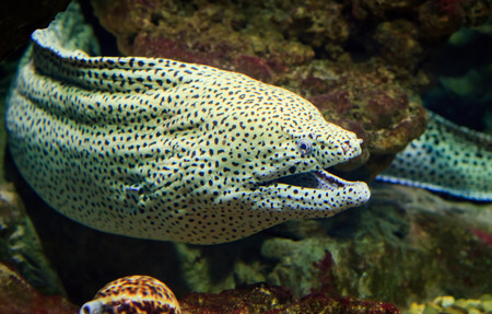Giant moray looks out from coral reef