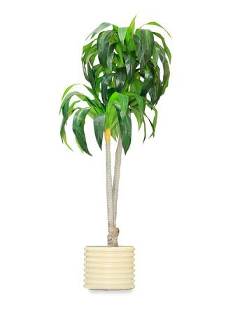 foliage tree: Big dracaena palm in a pot isolated over white Stock Photo