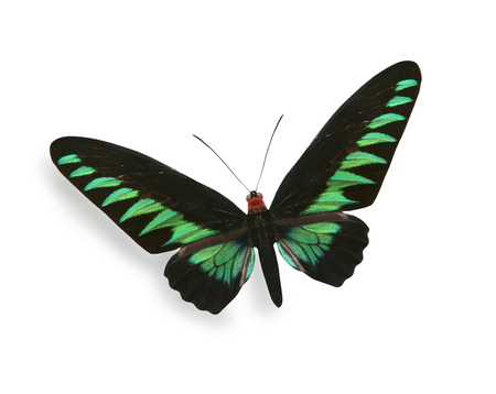 antennae: Green and black butterfly isolated on white