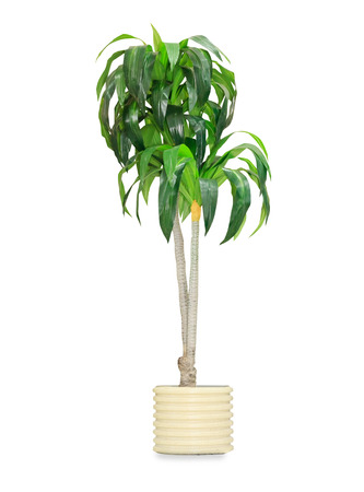 cactus flower: Big dracaena palm in a pot isolated over white Stock Photo