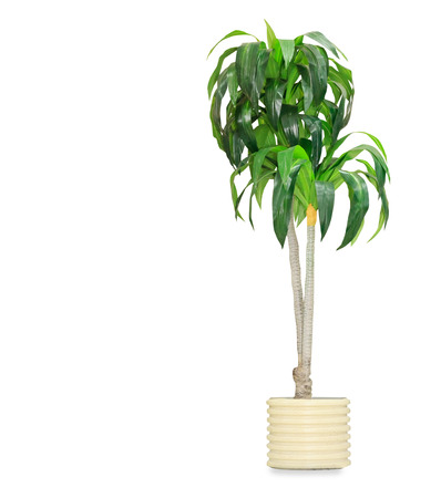 Big dracaena palm in a pot isolated over white Imagens