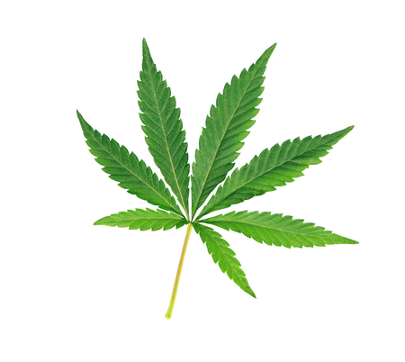 medicinal marijuana: Cannabis leaf, marijuana isolated over white background