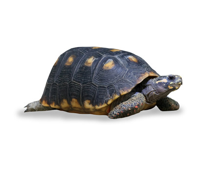 land turtle: spur-thighed turtle isolated over white