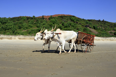 pair of white buffalo drawn to a cart going on the sandy shore