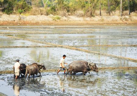 maharashtra: Maharashtra, India – February 09 ,2016: Farmer is plowing a rice field with oxen