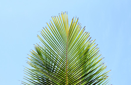 Fresh green palm leaf over blue sky