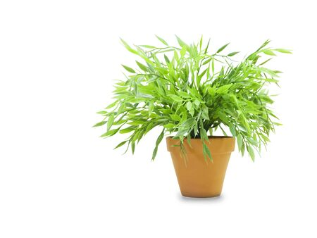 Bush dracaena in a pot isolated over white