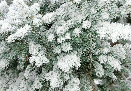 Snowy christmas tree brunches under snow background.  Zdjęcie Seryjne