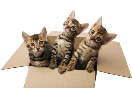 bengal: Bengal kittens in a cardboard box Stock Photo