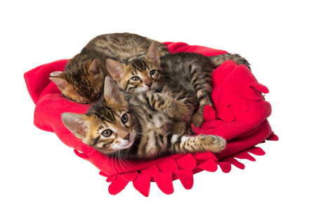 red plaid: red plaid Bengal cats kittens playing Stock Photo
