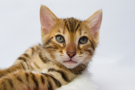 bengal: Bengal kitten resting close up head and legs Stock Photo