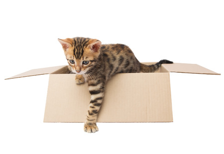bengal: Bengal kitten gets out of the box