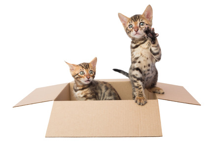 bengal: two Bengal kittens in a cardboard box Stock Photo
