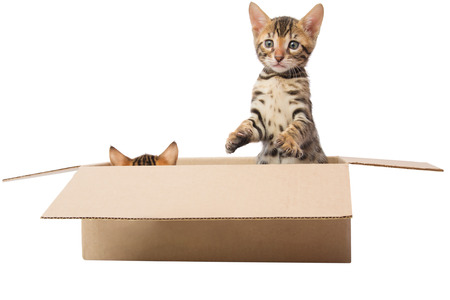 hide: two kittens are playing hide and seek in the box