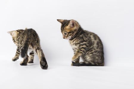 bengal: Two Bengal kitten Stock Photo