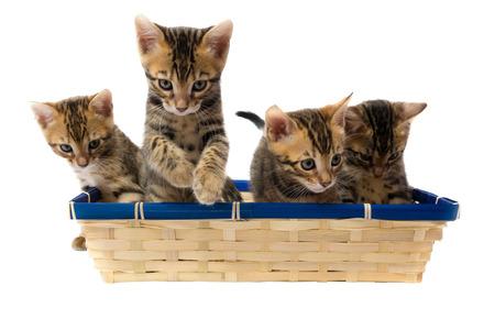 Four striped kitten sitting in a basket