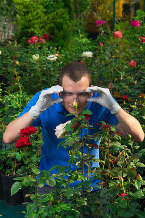 insecticidal: gardener looks in glasses on a rose bud