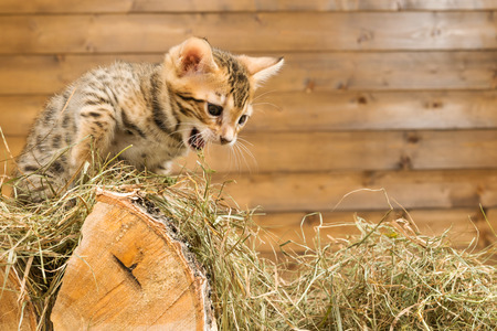 Kitten on the tree growls at someone in the hay
