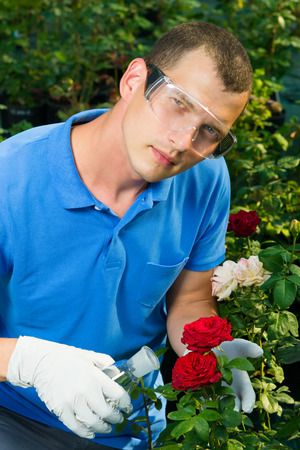 Experiment of a scientist gardener with red roses using nitrates