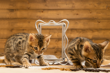 Two striped kitten of Bengal breed play with photo frame Stock Photo