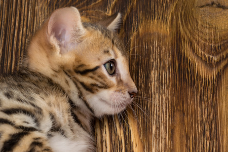Head of a Bengal kitten on the background of a wooden board