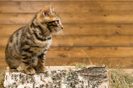 plastico pet: gatito sentado en un pedazo de madera de abedul y mira lejos