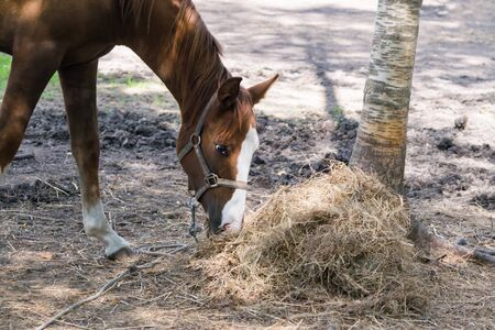 brown adult horse eating dry hay, side view