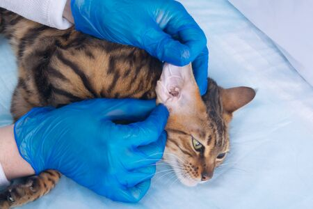 cat in veterinary clinic, on full inspection, close-up, hands in rubber gloves Stockfoto