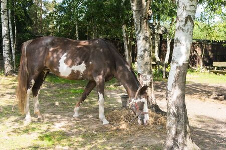 in the afternoon in the forest a horse eats hay from the ground