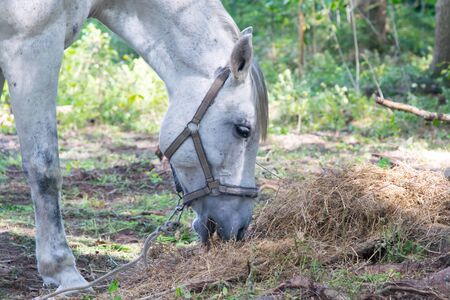 horse eating hay, against the background of nature, close-up Stockfoto