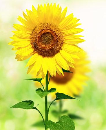Beautiful summer field with sunflowers Stock Photo - 2835811