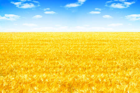Yellow field under blue sky and white clouds 写真素材