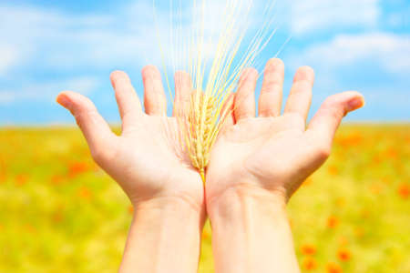 spikelets: Spikelets in the woman palms under blue sky  Stock Photo