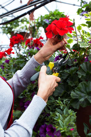 seller: Florist woman cutting flowers.