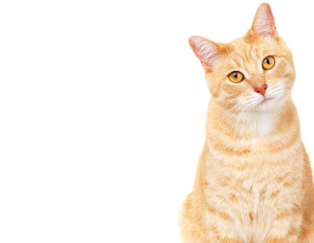 Pet cat  Stock Photo - 17315873