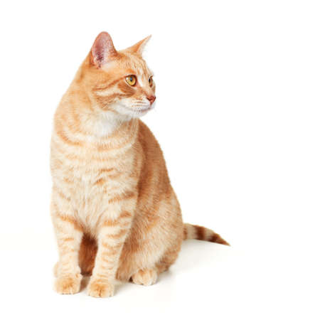 ginger cat: Cat portrait