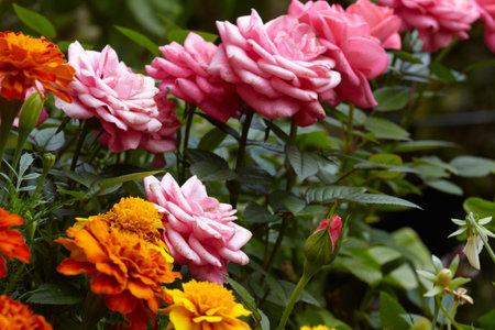 Beautiful marigold flowers in thé garden. Summer colors.