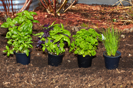 Fresh organic parsley and basil in the garden. Banco de Imagens