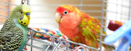 Cute rosy-faced lovebird parrot and budgie parakeet.